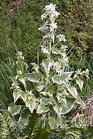 Lunaria annua 'Alba Variegata' Variegated honesty in white flower