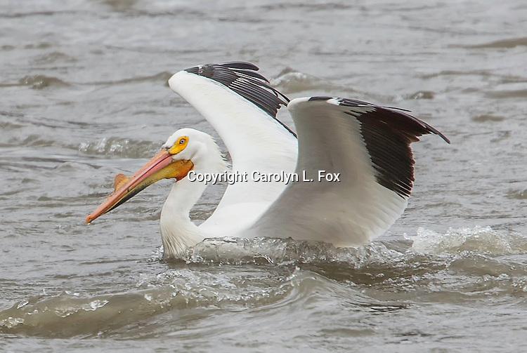 A white pelican lands on the Missouri River near Kansas City.