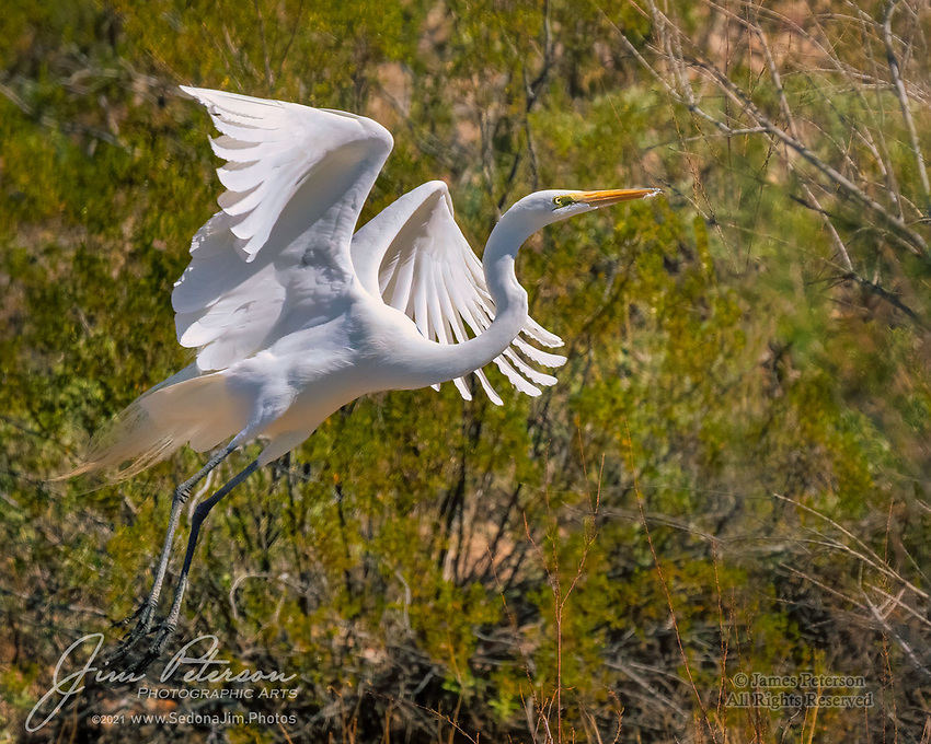 Just Getting Airborne.  Along the shores of Lake Pleasant, northwest of Phoenix, this great egret was probably in an early phase of its springtime migration during March, 2021.  Many waterbirds stop to feed at Arizona lakes during their spring and fall migrations, and more than a few choose to spend the winter here, being ardent fans of free meals.<br /> <br /> The white feathers on the bird's beak suggest that it had been preening just before takeoff.<br /> <br /> Tech info: Nikon D850 camera with Tamron 150-600mm lens at 350mm, 1/5000 sec. at f11, ISO 1000.<br /> <br /> Image ©2021 James D. Peterson