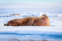 Atlantic walrus, Odobenus rosmarus rosmarus, resting, sleeping on ice floe, Lagoya, Svalbard, Norway, Atlantic Ocean