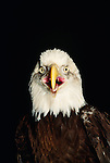 Bald eagle portrait, Washington