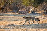 Cheetah (Acinonyx jubatus) twenty-one month old sub-adult female in savanna, Kafue National Park, Zambia