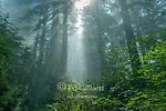 Lifting Fog, Redwoods, Lady Bird Johnson Grove, Redwood National Park, California