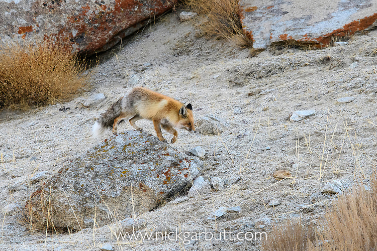 Adult red fox (Vulpes vulpes). Himalayas, Ladakh, northern India.