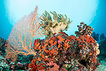 Munda, Western Province, Solomon Islands; a mushroom leather coral, a pink sea fan and colorful sponges growing on the reef with the sun overhead