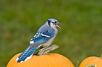 Blue Jay (Cyanocitta cristata) calling on top of Halloween pumpkin.  Nova Scotia. Canada.