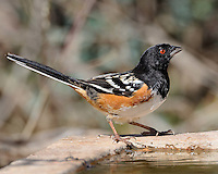 Spotted Towhee image from South Llano River State Park, Junction, .TX