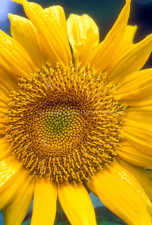 Large Sunflower head Helianthus annuus in bloom in summer, large flower, seedhead macro of bloom and petals