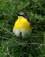 Yellow-breasted chat adult male frontal view in juniper tree