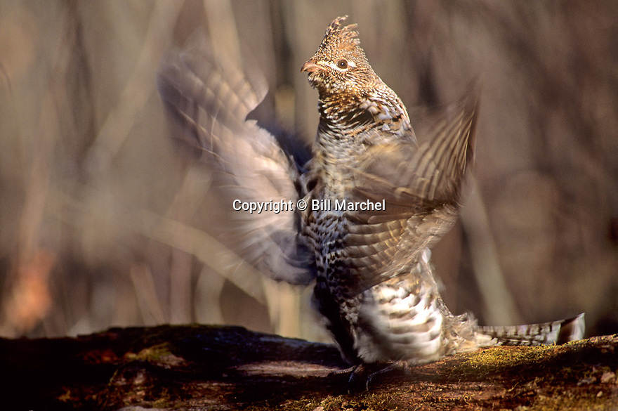 00515-002.06 Ruffed Grouse male drums to attract a mate during springtime.  Breed, territory.