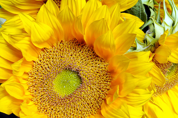 Golden Glow Sun Flower