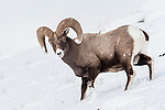 Male (ram) Rocky Mountain Bighorn Sheep (Ovis canadensis canadensis) in deep snow. Lamar Valley, Yellowstone National Park, Wyoming, USA. January