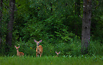 White-tailed doe with two fawns in northern Wisconsin.
