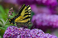 Western Tiger Swallowtail Butterfly (Papilio rutulus).  Pacific Northwest.  Summer.  Nectaring on butterfly bush.