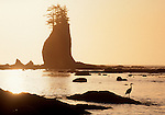 Olympic National Park, Sea stack and great blue heron, Cape Alava, Washington State coast, Pacific Northwest,.
