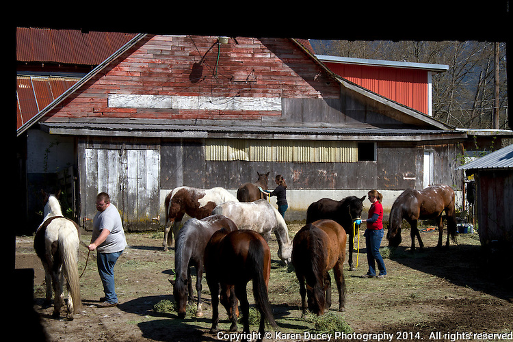 Vets and volunteers help out on Summer Raffo's property in Oso, Washington providing 16 horses with basic veterinary care, grooming and fresh hay on April 1, 2014. The horses belong to Summer Raffo, who died in the Oso mudslide on March 22, 2014.