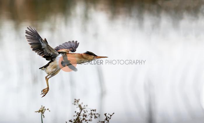 Least Bittern taking off in flight in rain at Viera Wetlands