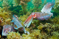 Giant Cuttlefish, Sepia apama, breeding aggregation with group of rival males in courtship display, Point Lowly, Whyalla, South Australia, Australia, Spencer Gulf, Southern Ocean