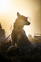 A sled dog rests in the fog at the Huslia checkpoint on Saturday  March 14, 2015 during Iditarod 2015.  <br /> <br /> (C) Jeff Schultz/SchultzPhoto.com - ALL RIGHTS RESERVED<br />  DUPLICATION  PROHIBITED  WITHOUT  PERMISSION
