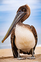 Brown Pelican (Pelecanus accidentalis), juvenile