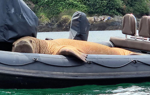 Wally the Arctic walrus resting on a RIB in Ardmore, Co Waterford last month