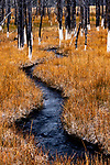 USA, Wyoming, Yellowstone National Park, a stream flows through a stand of calcified lodgepole pines