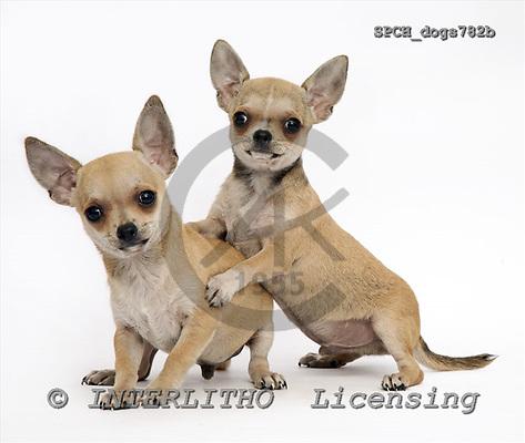 Xavier, ANIMALS, dogs, photos, SPCHdogs782b,#A# Hunde, perros
