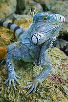 Iguana, Bonaire, Netherland Antilles, Caribbean, Atlantic