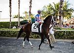 HALLANDALE FL - FEBRUARY 27: Zulu #2, ridden by John R. Velazquez walks to the track for the Xpressbet.com Fountain of Youth Stakes at Gulfstream Park on February 27, 2016 in Hallandale, Florida.(Photo by Alex Evers/Eclipse Sportswire/Getty Images)