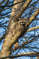 Raccoon (Procyon lotor) resting in red alder tree.  Pacific Northwest.  Fall.