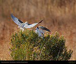 White-Tailed Kites, Bush Confrontation, Sepulveda Wildlife Refuge, Southern California