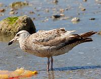 First summer herring gull