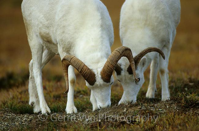 Dall Sheep (Ovis dalli) rams grazing. Denali National Park, Alaska. September.