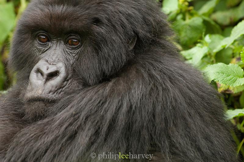 Silverback Gorilla in the Virunga Mountains, Parc National Des Volcans, Rwanda