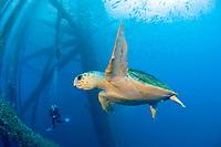 Logerhead turtle, caretta caretta, at HI-389 gas production platform near East Flower Garden reef, Texas, USA, Gulf of Mexico, Atlantic Ocean