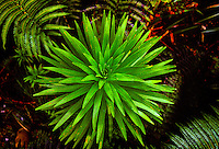 Rare greensword (argyroxphium grayanum) (bog plants) in Hana forest on Maui
