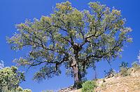 Korkeiche, Kork-Eiche, Quercus suber, Cork oak, cork tree