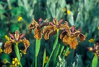 Iris Holden Clough GR3747