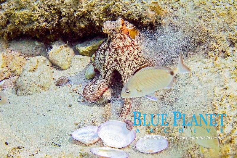 common octopus, Octopus vulgaris, feeding on clam, Greece, Aegean sea, Mediterranean