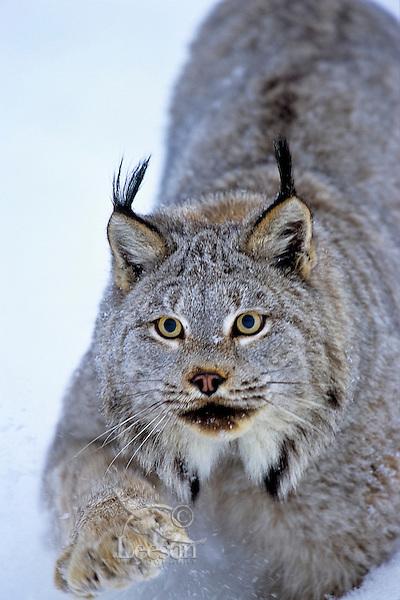 Canadian Lynx (Lynx canadensis) walking through deep powder snow.