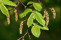 Hainbuche, Hain-Buche, Weißbuche, Weissbuche, Blüten, Blatt, Blätter, Carpinus betulus, Common Hornbeam, Charme commun, Charmille