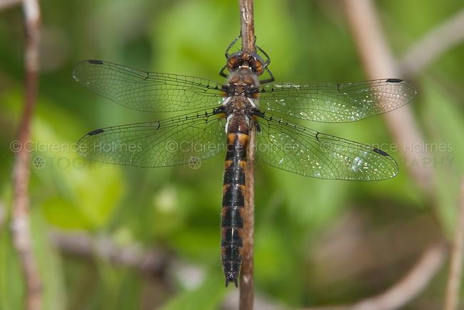Uhler's Sundragon (Helocordulia uhleri) Dragonfly - Female, Cranberry Lake Preserve, Westchester County, New York