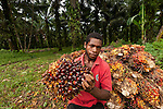 Local Papua New Guinean holding palm fruits (Elaeis quineesis Jacq) red and yellow fruit bunches are piled high ready for the mill trucks to pick up. New Britain Palm Oil Limited