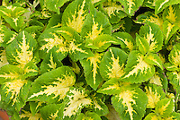(Solenostemon) Coleus 'Wizard Jade' annual foliage plant in two colors, gold and green, variegated leaves