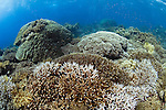 Healthy hard coral reef scene, .with several species of hard coral including Staghorn, Acropora sp. and Table, Porites sp., Layang Layang Atoll, Sabah, Malaysia, South China Sea, Pacific Ocean