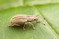 A Broad-nosed Weevil (Aphrastus taeniatus) perches on a leaf.