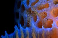 Neck Crab, Podochela sp., on Azure Vase Sponge, Callyspongia plicifera, Saba, Netherlands Antilles, Caribbean Sea, Atlantic, Atlantic