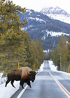 A bison crosses the road in Yellowstone.