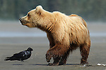Brown Bear and Raven