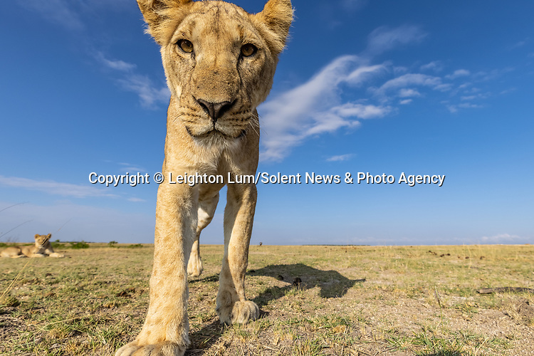 "Pictured: An inquisitive lioness appears to be taking a selfie.<br /> <br /> A curious young lioness plays with a camera after discovering it attached to a remote controlled vehicle.   Swiping at it with her large paws, she treats it like a domestic cat might a mouse.<br /> <br /> The pictures were taken in the Masai Mara National Reserve in Kenya, by photographer Leighton Lum who had originally hoped to get shots of the pride's 'majestic' male. The 32 year old said: ""I was trying to photograph the big male lion sitting nice and majestic, when the curious young female decided to come and investigate.   SEE OUR COPY FOR DETAILS<br /> <br /> Please byline: Leighton Lum/Solent News<br /> <br /> © Leighton Lum/Solent News & Photo Agency<br /> UK +44 (0) 2380 458800"